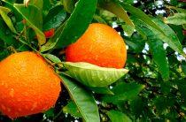 Сезонные фрукты Кипра